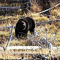 Snacking Bruin by Deanna Cagle