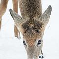 Snacking Deer by Cheryl Baxter