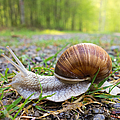 Snail Creeping Over A Forest Path by Matthias Hauser
