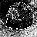Snail Shell Black And White Art No.11 by Drinka Mercep