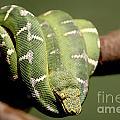 Snake Eyes by Rick Kuperberg Sr