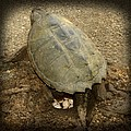 Snapping Turtle Laying Eggs 2 by Thomas Young