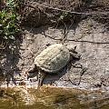 Snapping Turtle by M Dale