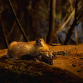 Snoozing Kit Fox by Thomas Young