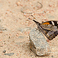 Snout Butterfly  by Donna Brown