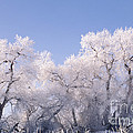 Snow And Ice Blanket Cottonwood Trees by Ron Sanford