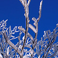 Snow And Ice Coated Branches by Anonymous