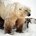 Snow Bear by Alice Ramirez