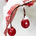 Snow Berries by Aaron Aldrich