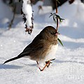 Snow Bird by Todd Hostetter