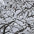 Snow Branches 2-1-15 by Doug Morgan
