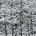 Snow Branches by Carolyn Stagger Cokley