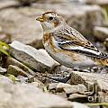 Snow Bunting Pictures 43 by World Wildlife Photography
