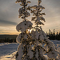 Snow Capped Sitka Spruce by Joan Wallner