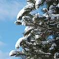 Snow-clad Pine by Ann Horn