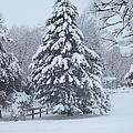 Snow Conifer 2-1-15 by Doug Morgan