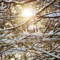 Snow Covered Branches by Cheryl Baxter
