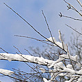 Snow Covered Branches by Karen Adams
