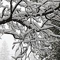 Snow Covered Branches by Paul Shoaf