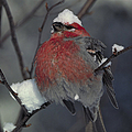 Snow Covered Pine Grosbeak by Stephen J Krasemann