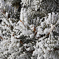 Snow Covered Pine Tree by Sharon  Marx