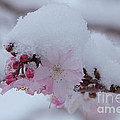 Snow Covered Pink Cherry Blossoms by Luv Photography