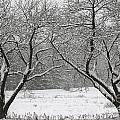 Snow Covered Trees In A Field. by Don Landwehrle