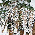 Snow Covered Trees by Tracy Winter