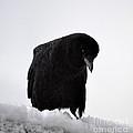 Snow Crow -edition  6 Of 10 by Rae Ann  M Garrett
