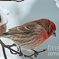 Snow Day Housefinch  by Debbie Portwood