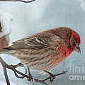 Snow Day Housefinch With Texture by Debbie Portwood