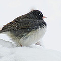 Snow Day Junco by Debbie Portwood