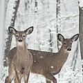 Snow Deer by Douglas Barnett