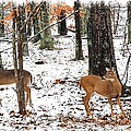 Snow Doe's 1 by Todd Hostetter