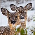 Snow Does by Betsy Knapp