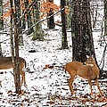 Snow Doe's by Todd Hostetter