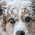 Snow Dog by Carol Erikson