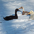 Snow Ducks by Kimmary MacLean