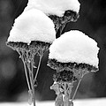 Snow Flowers Bw by David T Wilkinson