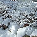 Snow Frosted Bush by Susan Wyman