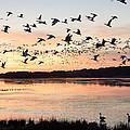 Snow Geese At Chincoteague Last Flight Of The Day by Bill Swindaman