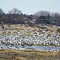 Snow Geese by Bonfire Photography