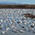 Snow Geese Bosque by Steven Ralser