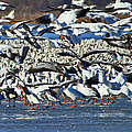 Snow Geese by Deb Buchanan