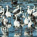 Snow Geese Discussion by Terri Morris