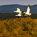Snow Geese Flying In Fall by Jean Noren