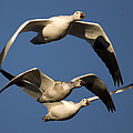 Snow Geese Flying by John Greco