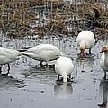Snow Geese Muddy Waters by Debra  Miller