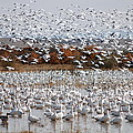 Snow Geese No.4 by John Greco