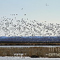 Snow Geese Taking Off At  Loess Bluffs National Wildlife Refuge by Catherine Sherman